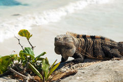 Mexican iguana Stock Photo
