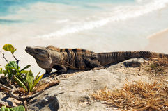Mexican iguana Royalty Free Stock Image