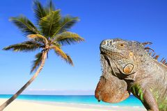 Mexican iguana in tropical Caribbean beach. Coconut palm tree Stock Photography