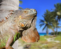 Mexican iguana in tropical Caribbean beach. With coconut palm trees Royalty Free Stock Photo