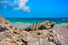 Mexican iguana in Tulum in Riviera Maya. Mexican iguana in Tulum with Caribbean sea of Riviera Maya Mexico royalty free stock photo