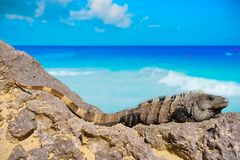 Mexican iguana in Tulum in Riviera Maya. Mexican iguana in Tulum with Caribbean sea of Riviera Maya Mexico royalty free stock image