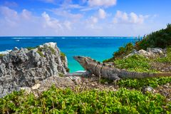 Mexican iguana in Tulum in Riviera Maya. Mexican iguana in Tulum with Caribbean sea of Riviera Maya Mexico stock image