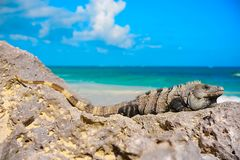 Mexican iguana in Tulum in Riviera Maya. Mexican iguana in Tulum with Caribbean sea of Riviera Maya Mexico stock photos