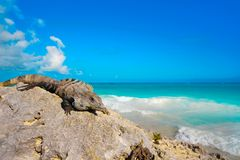 Mexican iguana in Tulum in Riviera Maya. Mexican iguana in Tulum with Caribbean sea of Riviera Maya Mexico stock photography