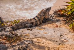 Mexican iguana in Tulum with Caribbean sea of Riviera Maya Mexico, Yucatan.  stock photos