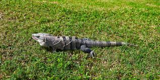 Mexican iguana in Tulum in Riviera Maya. Mexican iguana in Tulum grass of Riviera Maya Mexico stock photo
