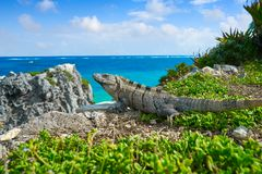 Mexican iguana in Tulum in Riviera Maya. Mexican iguana in Tulum with Caribbean sea of Riviera Maya Mexico stock photo