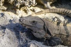 Mexican iguana in Tulum, Riviera Maya. Mexico royalty free stock photography