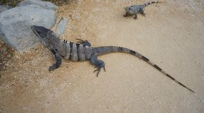 Mexican iguana in Tulum in Riviera Maya. Mexican iguana in Tulum ruins of Riviera Maya Mexico stock photography