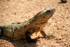 Mexican iguana Stock Photo