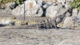 Mexican iguana wildlife stock video footage