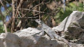 Mexican iguana wildlife stock footage