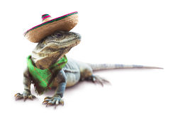 Free Mexican Iguana With Hat And Scarf Royalty Free Stock Photo - 78763605