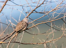 Mexican Inca Dove. This is a shot of an Inca Dove perched serenely in a tree soaking up the early morning sun, letting his presence be know by softly cooing to Royalty Free Stock Photo