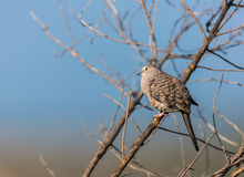 Mexican Inca Dove. This is a shot of an Inca Dove perched serenely in a tree soaking up the early morning sun, letting his presence be know by softly cooing to Royalty Free Stock Photos