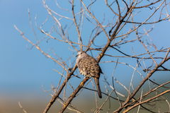 Mexican Inca Dove. This is a shot of an Inca Dove perched serenely in a tree soaking up the early morning sun, letting his presence be know by softly cooing to Royalty Free Stock Images