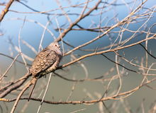 Mexican Inca Dove. This is a shot of an Inca Dove perched serenely in a tree soaking up the early morning sun, letting his presence be know by softly cooing to Royalty Free Stock Photography