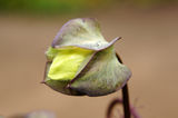 Mexican ivy bud. Stock Photos