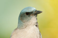 Mexican Jay Royalty Free Stock Images