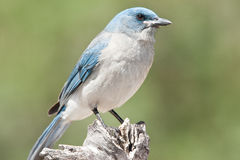 Mexican Jay Royalty Free Stock Photography