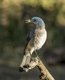 Mexican Jay Stock Images