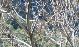 Mexican jay bird Stock Photos