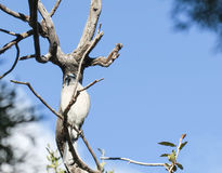 Mexican jay in tree Royalty Free Stock Image