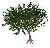 Mexican or key lime tree - 3D render Royalty Free Stock Photos