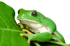 Mexican leaf frog isolated Stock Images