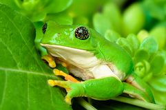 Mexican leaf frog Royalty Free Stock Images