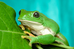 Mexican leaf frog. (Pachymedusa dacnicolor) with golden eyes Royalty Free Stock Photography