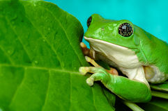 Mexican leaf frog Royalty Free Stock Photos