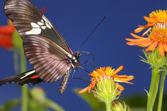 Mexican longwing,  heliconius hortense Royalty Free Stock Photos