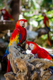 Mexican Macaws. A couple of mexican macaws resting on a log royalty free stock photos