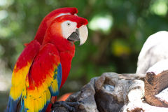 Mexican Macaws. A couple of mexican macaws resting on a log stock images