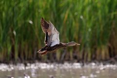 Mexican Mallard Duck in flight. Mexican Mallard Duck flying over a lake in Rio Grande Valley, Texas Royalty Free Stock Image
