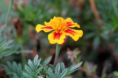 Free Mexican Marigold Or Tagetes Erecta Single Herbaceous Annual Plant With Fully Open Blooming Flower Made Of Bright Red And Yellow Royalty Free Stock Image - 139681436