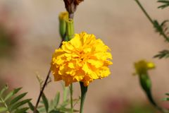 Mexican marigold or Tagetes erecta plant with large flowerhead filled with dense bright yellow petals surrounded with flower buds. Mexican marigold or Tagetes stock photo