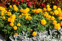 Mexican marigolds Tagetes erecta, Aztec marigold on flowerbed. Mexican marigolds Tagetes erecta, Aztec marigold on the flowerbed Stock Photography