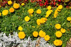 Mexican marigolds Tagetes erecta, Aztec marigold on flowerbed. Mexican marigolds Tagetes erecta, Aztec marigold on the flowerbed Stock Photos