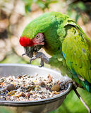 Mexican military macaw (Ara militaris mexicana) Stock Image