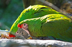 Mexican Military Macaw. Pair of Mexican Military Macaw green parrot stock images