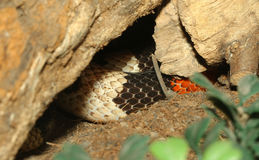 THE Mexican milk snake Hidden in a cave Royalty Free Stock Photo