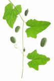 Mexican Mini Cucumber (Melothria scabra) Royalty Free Stock Images