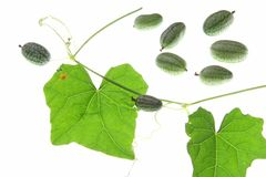 Mexican Mini Cucumber (Melothria scabra) Stock Photography