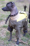 Mexican naked dog (xoloitzcuintle) Stock Image