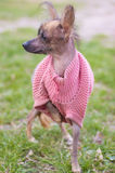 Mexican naked dog (xoloitzcuintle) Stock Photo
