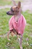 Mexican naked dog (xoloitzcuintle) Stock Photo