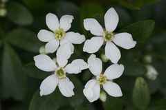 Mexican Orange Blossom (Choisya Ternata) Stock Images